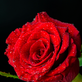 Red Rose by Sarita Jithin - Flowers Single Flower ( rose, water drops, red, beautiful, flower )