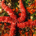 Pointed Sea Star