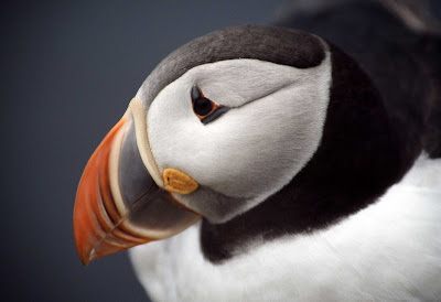 Close-up of a puffin in Iceland.
