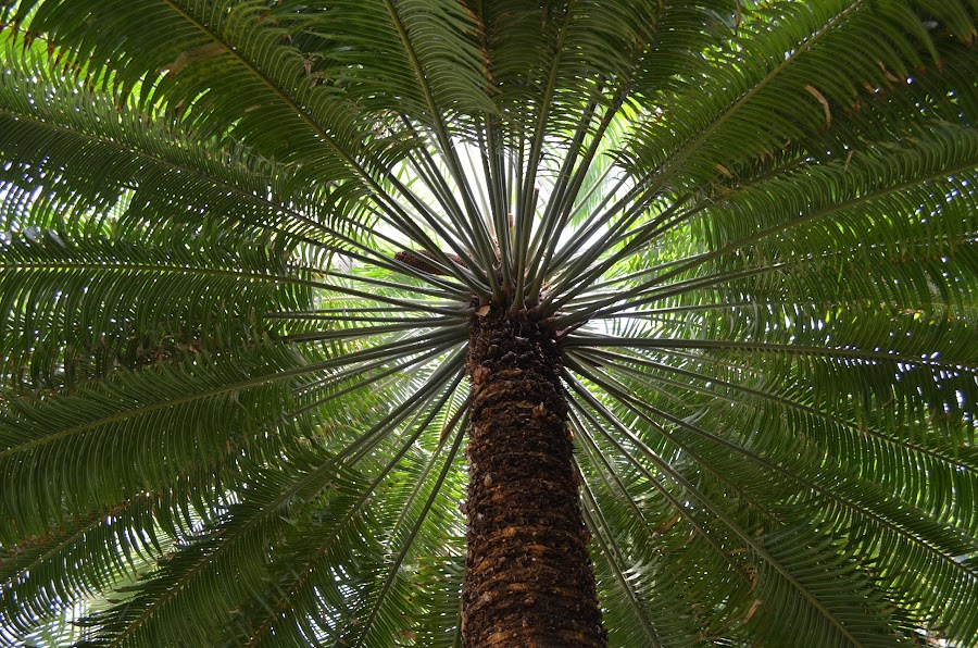 Beach bum  by Nik Atkins - Nature Up Close Trees & Bushes ( palm, blue sky, beautiful, symmetry, beach )