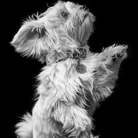 Fluffy dog by Felipe Mairowski - Animals - Dogs Portraits ( cão, black and white, cane, white, white dog, bw, cachorro, fluffy dog, perro, portrait )