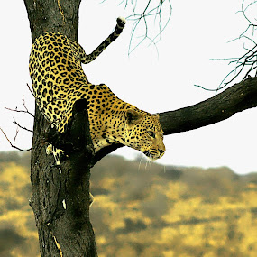 Male Leopard. by Kleintjie Loots - Animals Lions, Tigers & Big Cats (  )