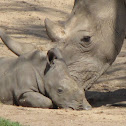 White Rhinoceros mother and child
