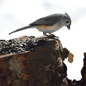 Oh, no...I dropped my peanut by Susan Hughes - Animals Birds