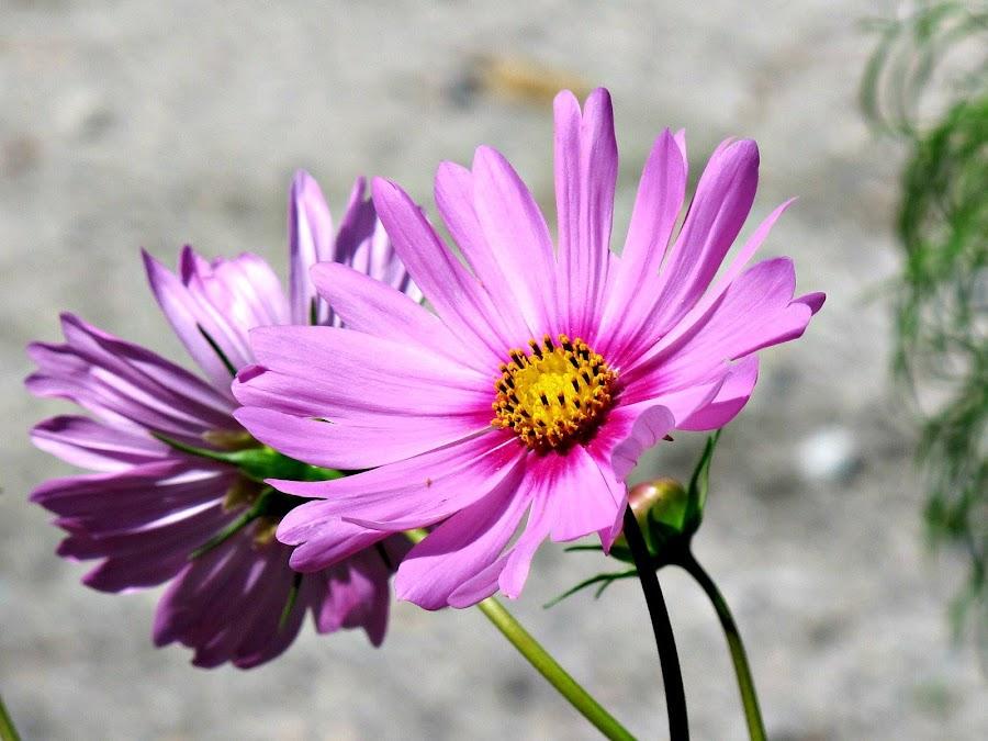 by Tiz Brotosudarmo - Flowers Flower Gardens (  )