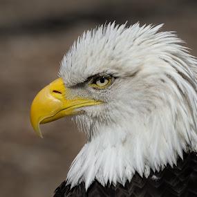 D610 70-300mm  Tamron by Andrea Silies - Animals Birds ( bird, eagle, bald eagle )