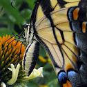 Eastern Tiger Swallowtail - female