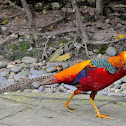 "Golden Pheasant or ""Chinese Pheasant""(Male)"
