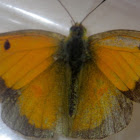 African Clouded Yellow,