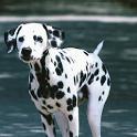 Dalmatian Puzzle icon