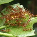 caterpillar & Weaver ants