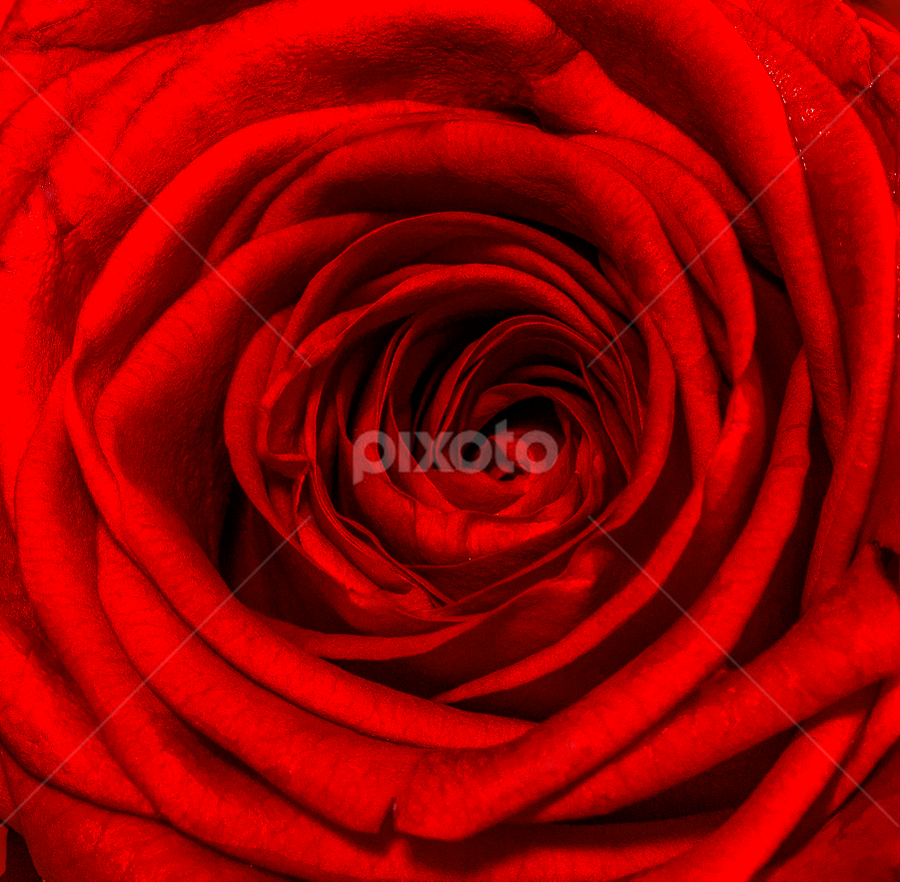 red rose by Elchin Jabbarov - Flowers Single Flower ( rose, macro, red, blume, flower,  )