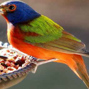 Painted Bunting by Priscilla Renda McDaniel - Animals Birds ( , blue, orange. color )