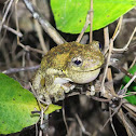 Emerald-Spotted Tree Frog, Peron's Tree Frog