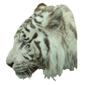 White Tiger Profile Sticker