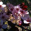 Krauter Vesuvius Cherry Plum