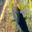 Shortfin molly