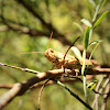 Egyptian locust