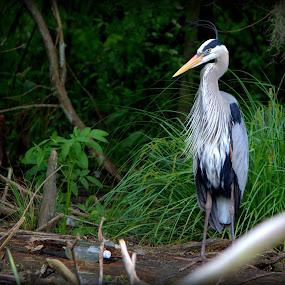 Waiting for the next prey !! by Sraddheshnu Basu - Animals Birds