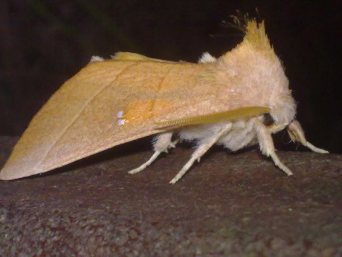 Nadata Moth
