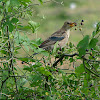 Rosy Starling - Female