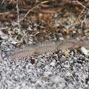 Pine Processionary larvae