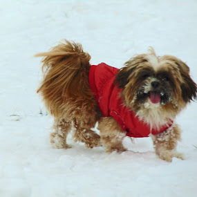 little dog in the snow by Patrik Voicu - Animals - Dogs Playing ( snow, little, dog,  )
