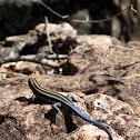 Blue-tailed sandveld lizard