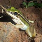 Kongkang Gading (Green Paddy Frog)