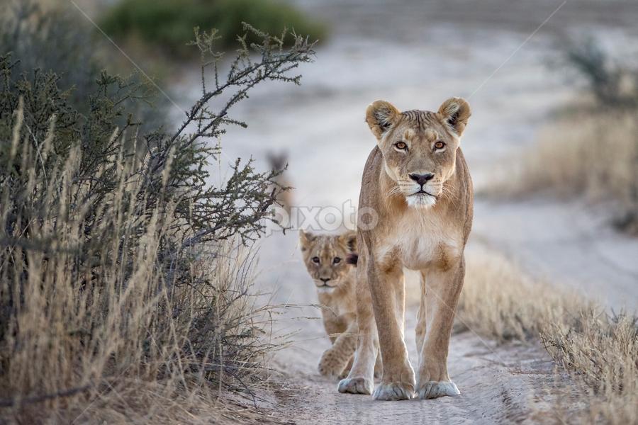 Mom & Baby by Francois Malan - Animals Lions, Tigers & Big Cats ( lion, francois malano, wildlife photography, ufoto, safari, ufoto africa, africa, kgalagadi )