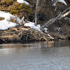 Eurasian Beaver Lodge