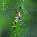 golden silk orb-web spider
