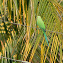 The Rose-ringed Parakeet (male)