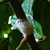 Cotton Hopper