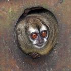 Panamanian Night Monkey - Jujuná