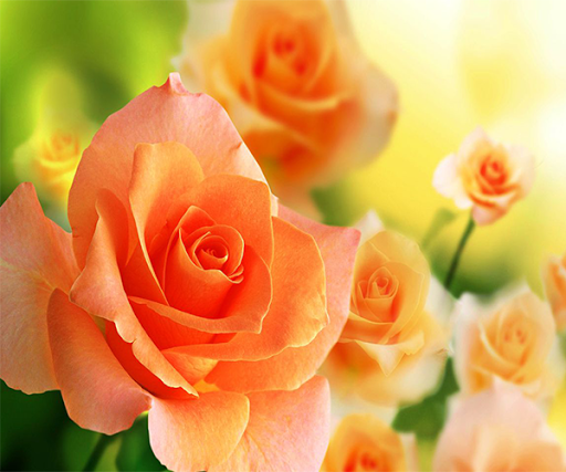 Orange Roses Live Wallpaper
