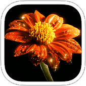 Gerbera Live Wallpaper