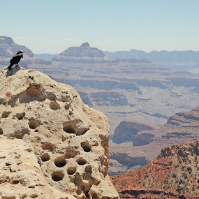 Raven at the Grand Canyon by Megan Griffith - Landscapes Caves & Formations ( bird, raven, megan, grand, canyon, crow, griffith, megan griffith, grand canyon, formation )