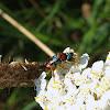 Cuckoo Wasp