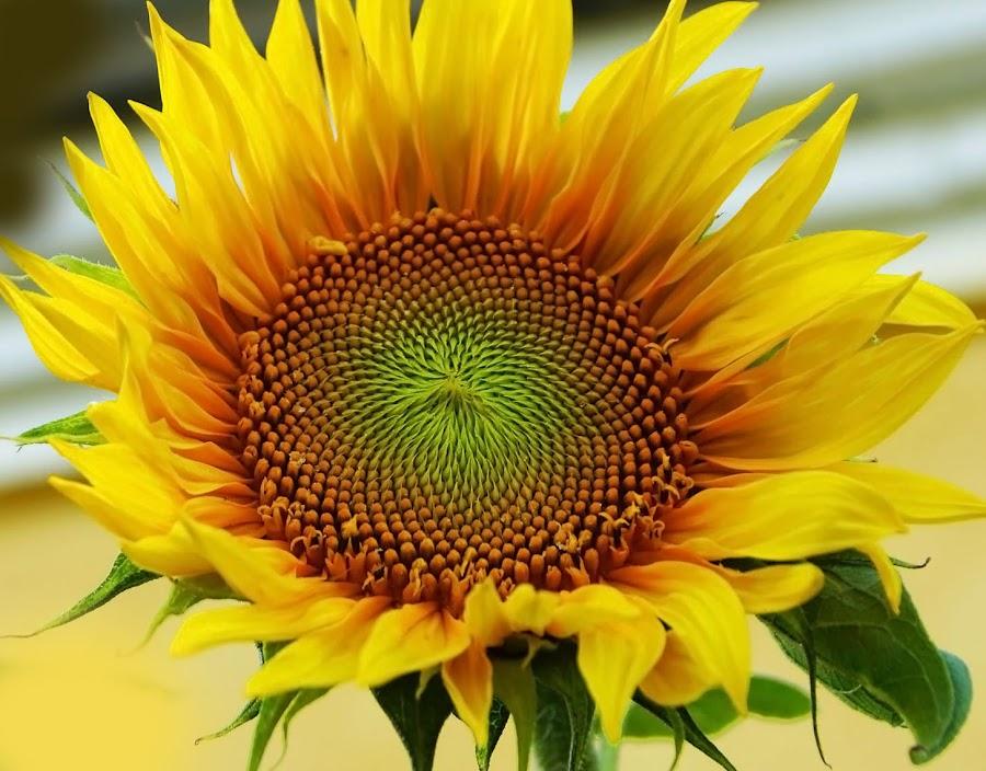 by Ramendra Sundar Dey - Flowers Single Flower ( Hope,  )