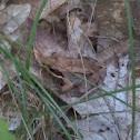 Wood Frog by Megan