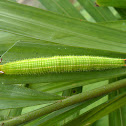 Common Palmfly caterpillar