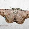 Geometridae (Gray moth)