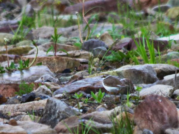 Little Ringed Plover / Flussregenpfeifer