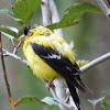 American goldfinch (male)
