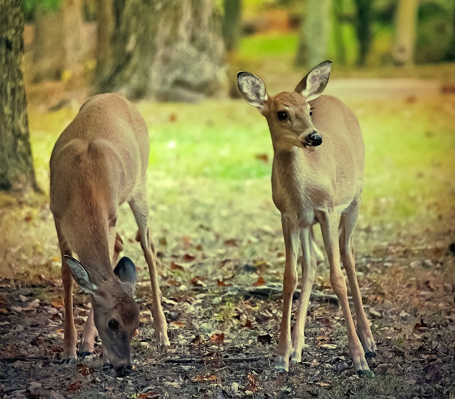 Siblings by Sue Delia - Animals Other Mammals ( whitetail deer, fawns, deer,  )
