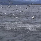Sea birds feasting on Sardines