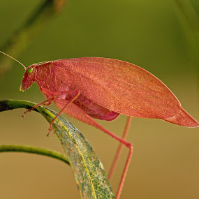 Newly Molted Katydid by Siggy In Costa Rica - Animals Insects & Spiders ( macro, molted, pink katydid, pink, insect,  )