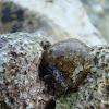 Depilatory Sea Hare / Mini Vin / Morski zekan