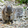 Eastern Gray Squirrel (juvenile)